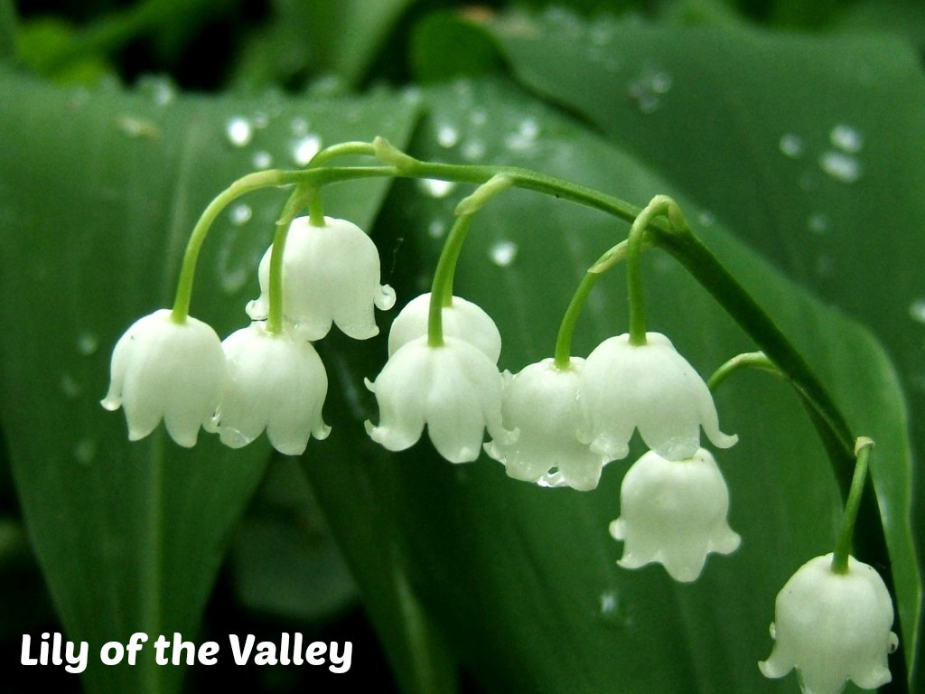 Flower Of The Month Of May Lily Of The Valley Lilies