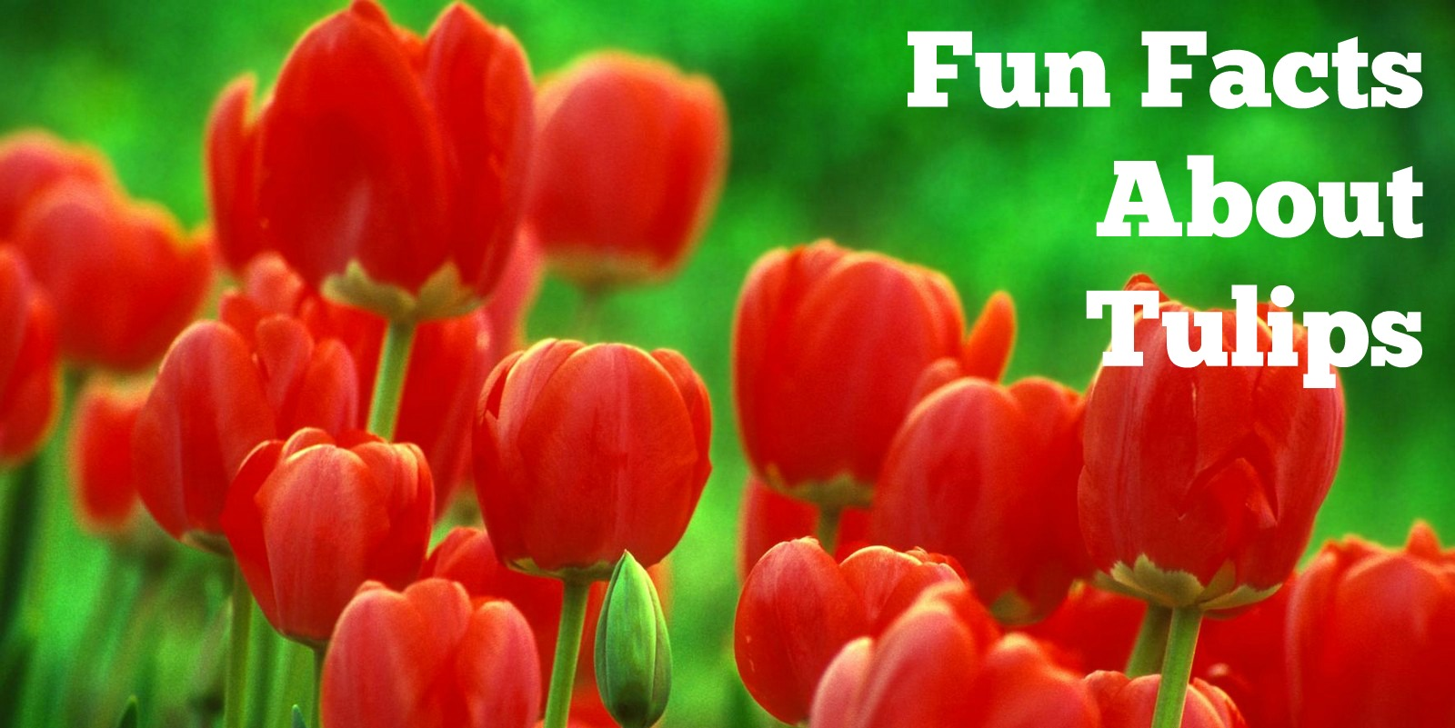 Fun Facts About Tulips - NetFlorist - The Rambling Rose