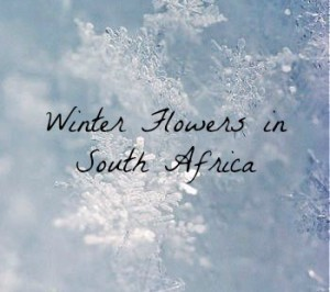 Winter Flowers In South Africa The Rambling Rose
