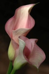 pink arum lily