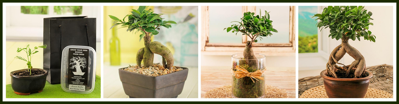 juniper bonsai care instructions